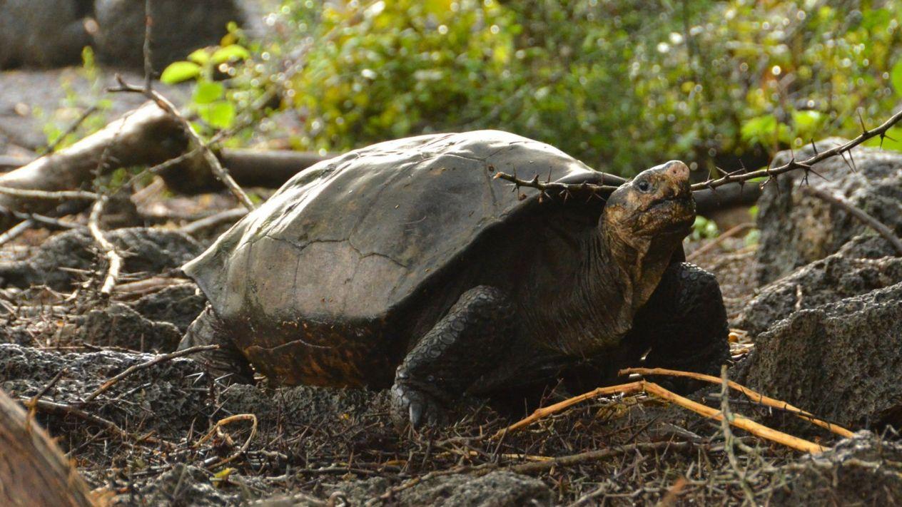 tortuga que se creía extinta